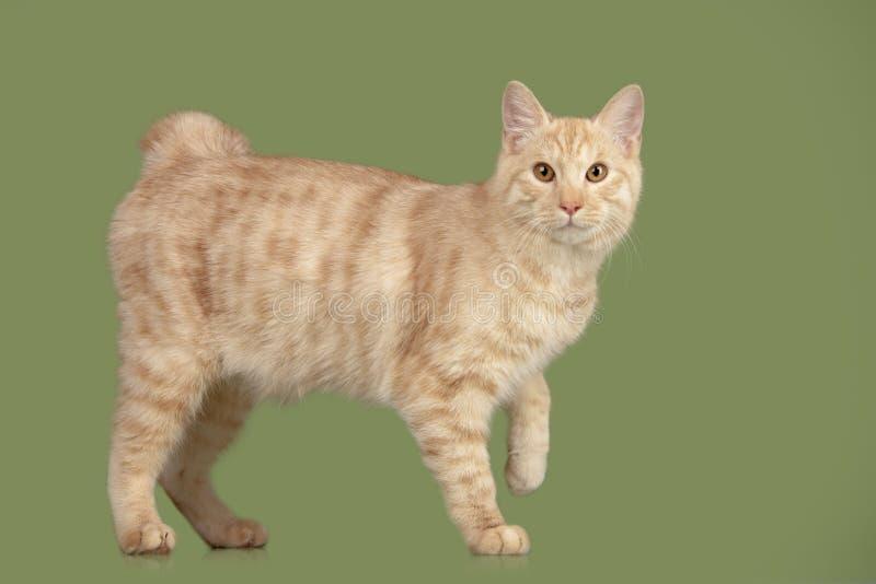 Gatito del Bobtail de Kurilian imágenes de archivo libres de regalías