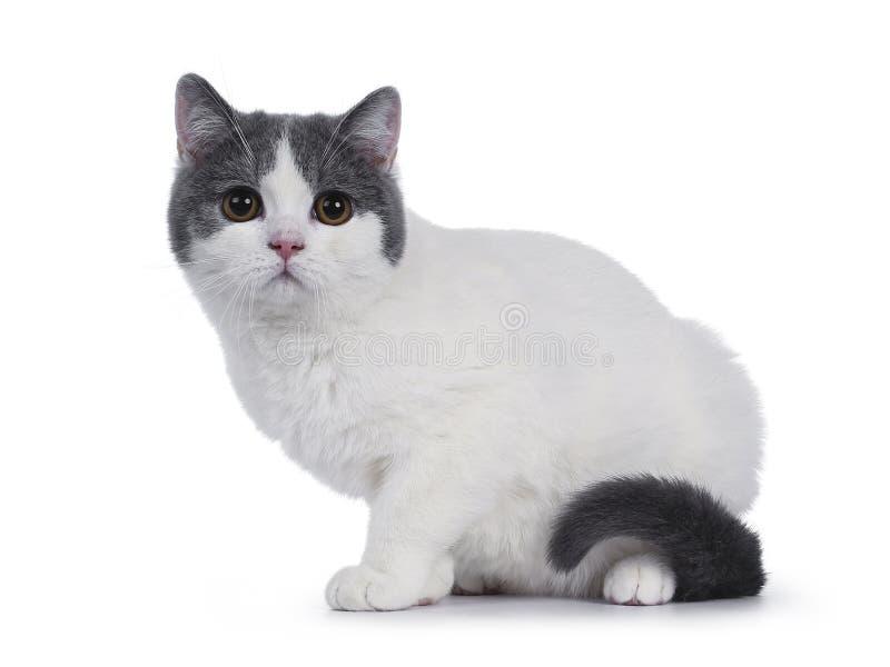 Gatito británico blanco azul lindo de Shorthair en blanco fotografía de archivo
