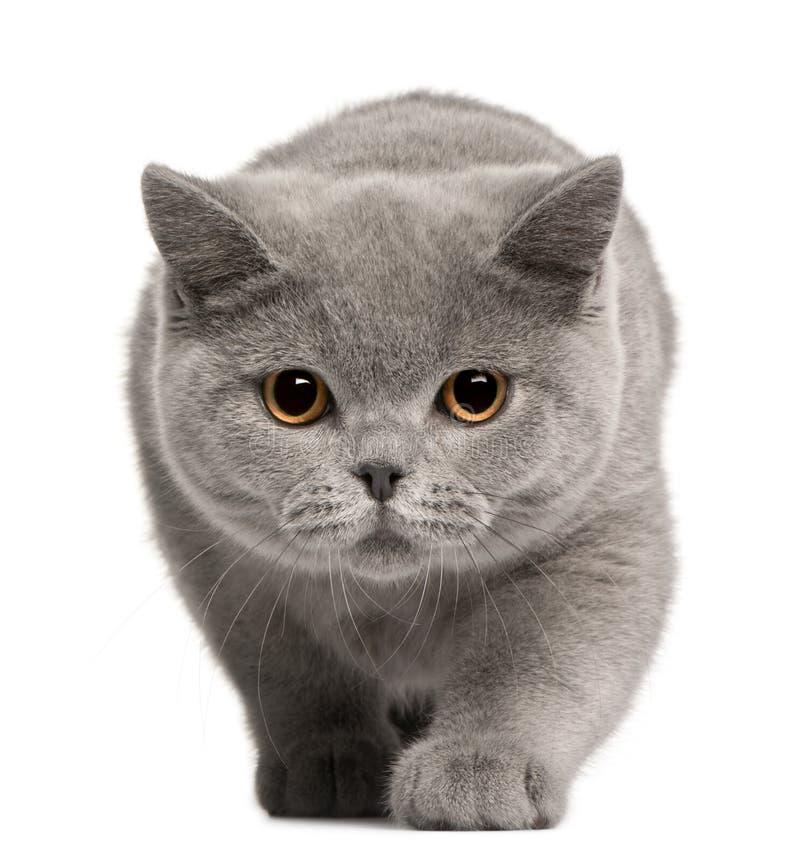 Gatito británico de Shorthair, 4 meses fotografía de archivo