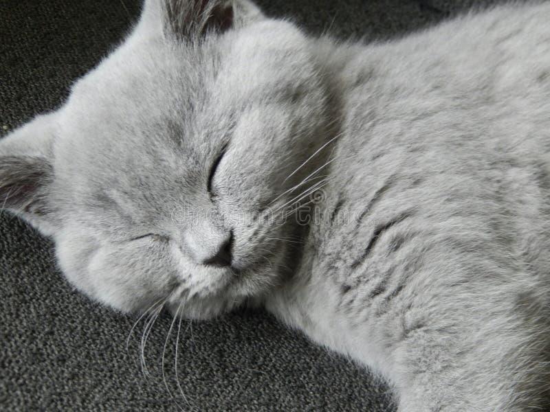 Gatito británico de Shorthair fotografía de archivo