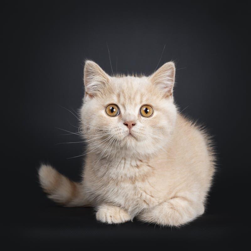 Gatito británico de Shorthair de la nata en negro foto de archivo