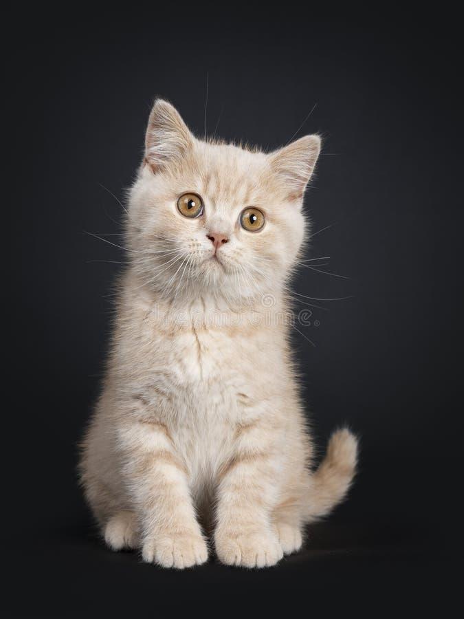 Gatito británico de Shorthair de la nata en negro fotos de archivo