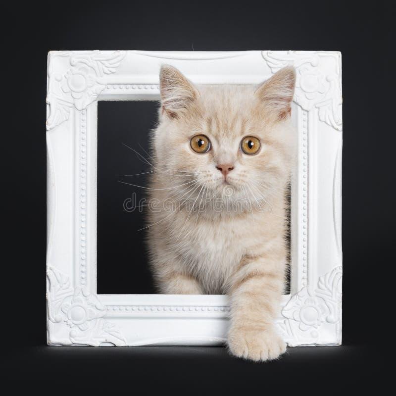 Gatito británico de Shorthair de la nata en negro imágenes de archivo libres de regalías
