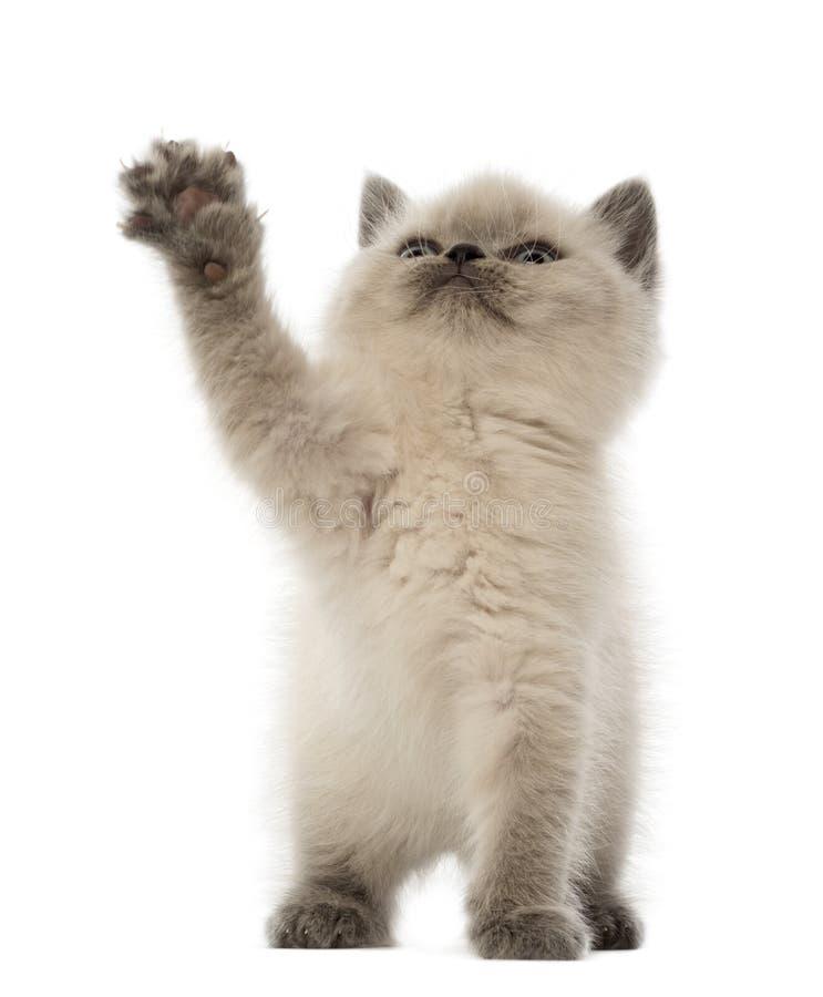 Gatito británico de Shorthair que mira para arriba y que juega foto de archivo libre de regalías
