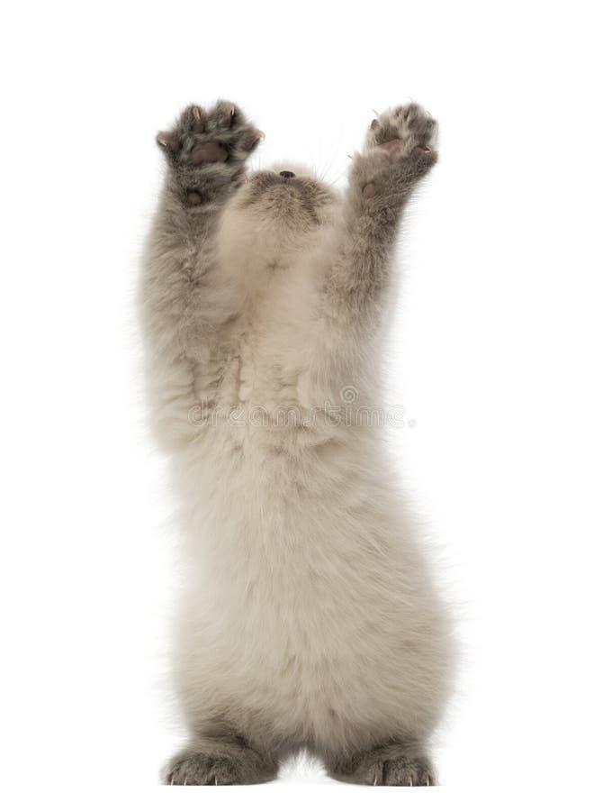 Gatito británico de Shorthair que mira para arriba y que juega imágenes de archivo libres de regalías
