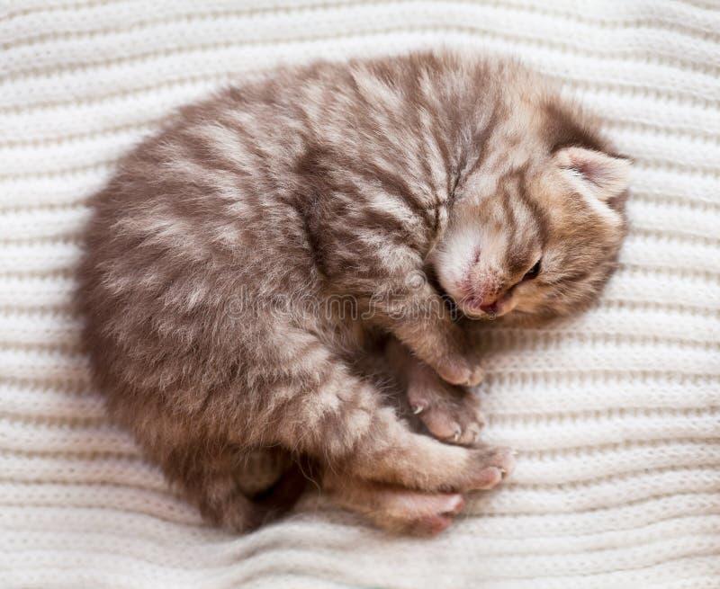 Gatito británico del bebé el dormir recién nacido fotos de archivo