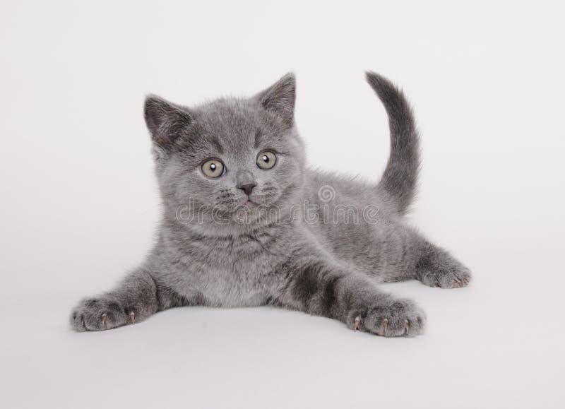 Gatito británico del shorthair fotografía de archivo