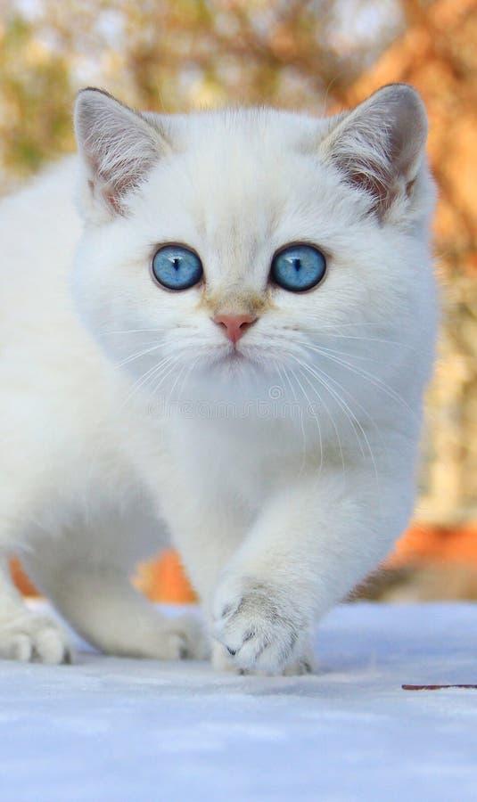 Gatito británico del shorthair con los ojos azules fotos de archivo