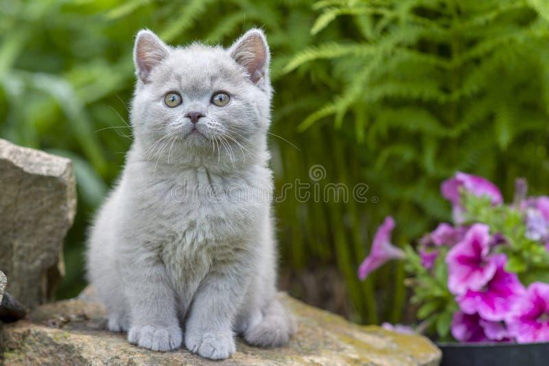 Gatito británico del shorthair que se sienta en una piedra en el primer de la hierba foto de archivo libre de regalías