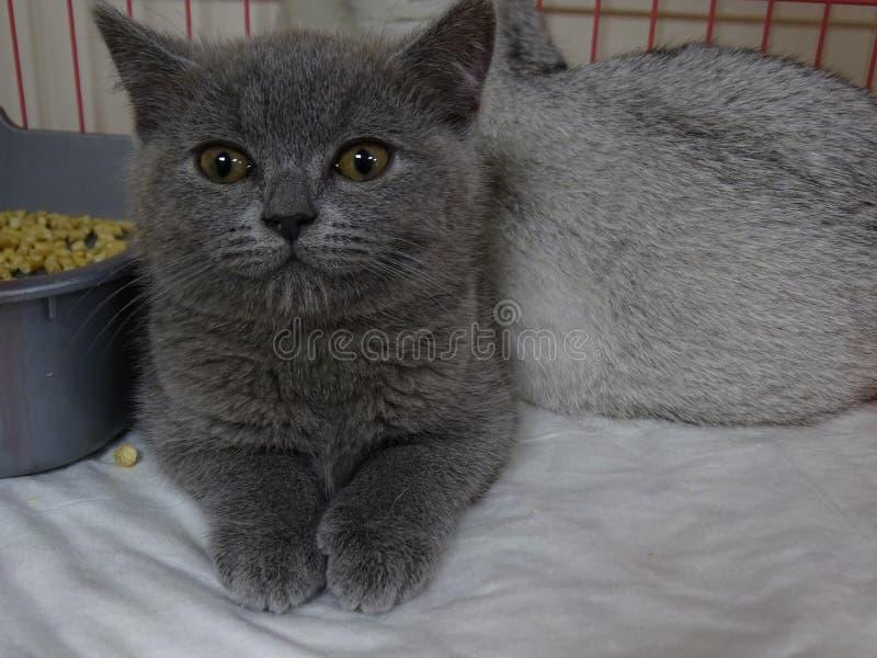Gatito británico en una tienda de animales foto de archivo libre de regalías