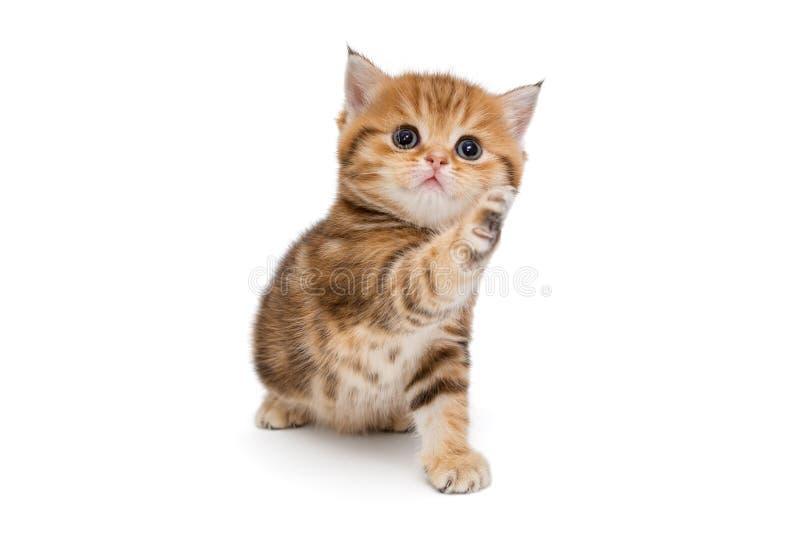 Gatito británico juguetón del pelirrojo fotografía de archivo