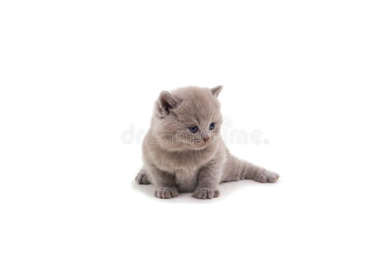 Gatito británico púrpura que se sienta en un fondo blanco, mirando lejos imagenes de archivo