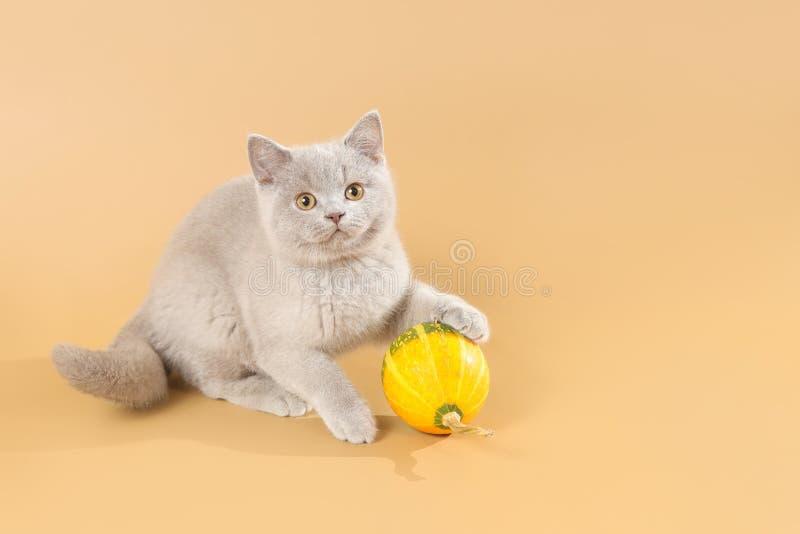 Gatito brit?nico agradable de la lila del shorthair que juega con melone imagen de archivo