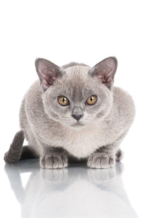 Gatito burmese hermoso foto de archivo