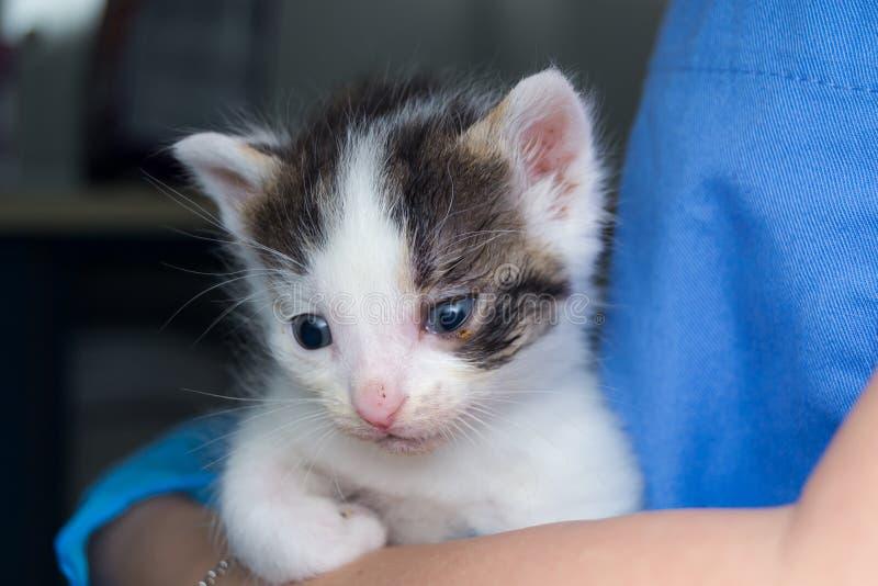 Gatito con la conjuntivitis holded en las manos de un veterinario fotos de archivo libres de regalías
