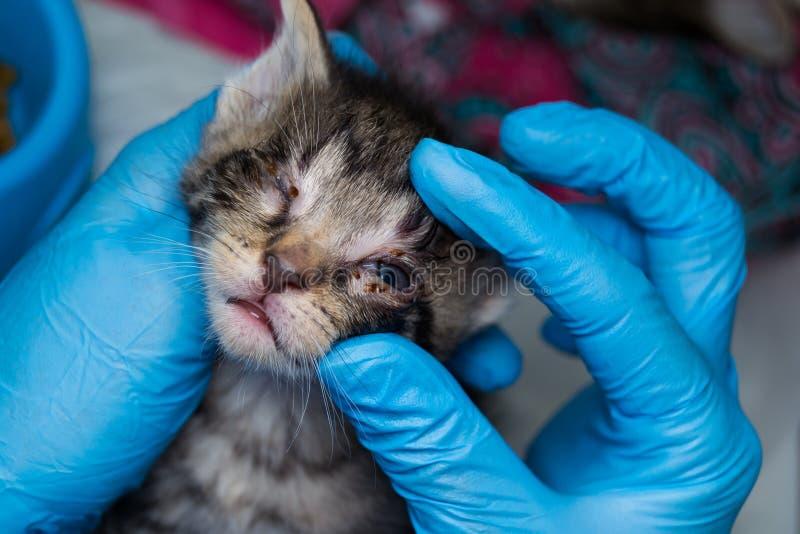Gatito con la conjuntivitis holded en las manos de un veterinario fotos de archivo
