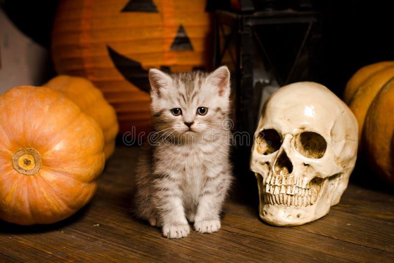 Gatito con las calabazas para Halloween imagenes de archivo