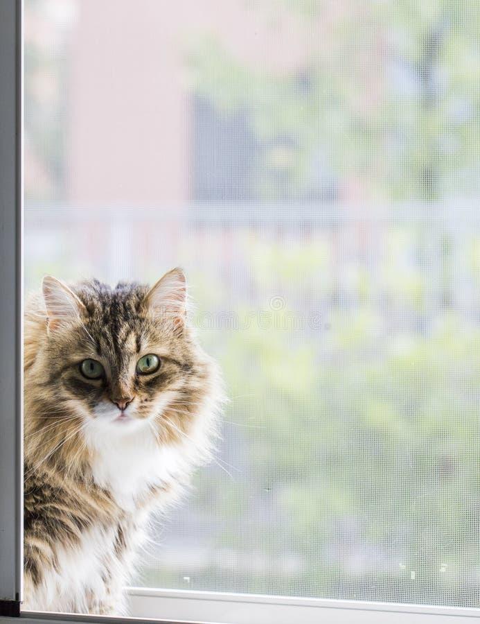 Gatito curioso en la ventana, hembra marrón del gato atigrado foto de archivo