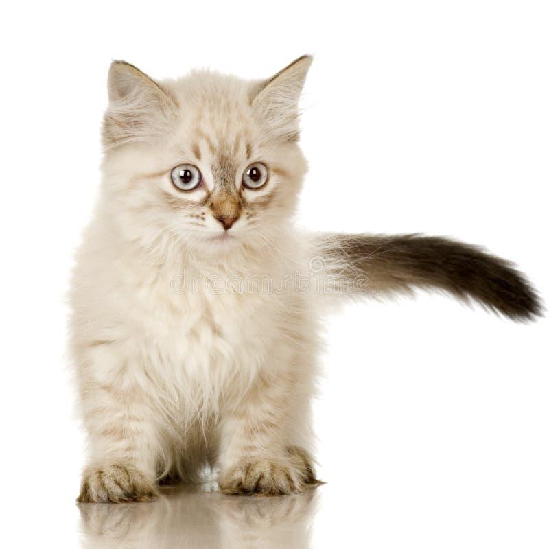 gatito de Birman de la Azul-tabby-punta imagenes de archivo