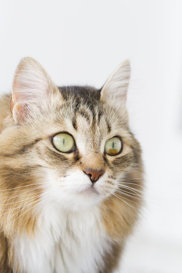 Gatito de Brown con blanco fotos de archivo libres de regalías