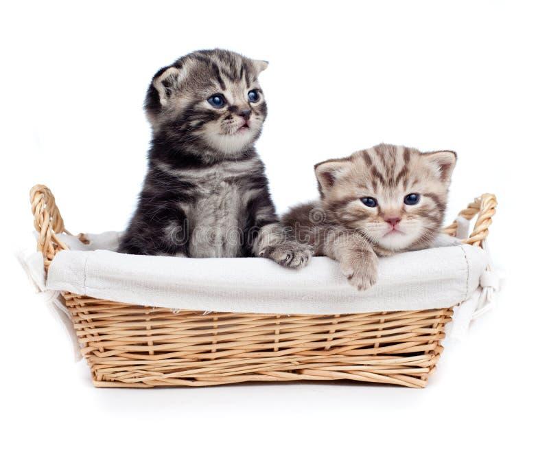 Gatito de dos escoceses que se sienta en la cesta aislada foto de archivo libre de regalías