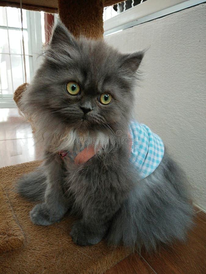 Gatito de Grey Persian en traje azul de la tela escocesa fotos de archivo
