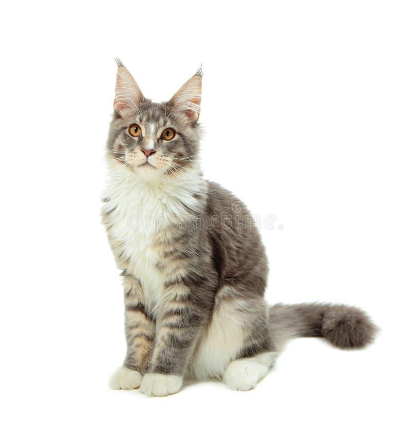 Gatito de Maine Coon fotografía de archivo libre de regalías