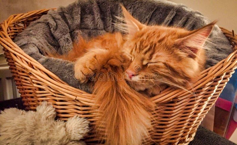 Gatito de Maine Coon que juega alrededor imagen de archivo