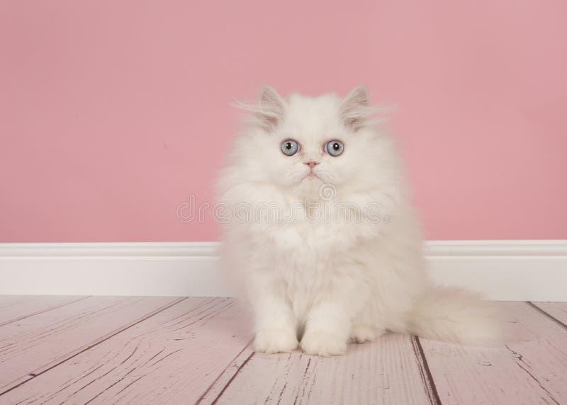 Gatito de pelo largo persa blanco con los ojos azules que se sientan en un estudio foto de archivo libre de regalías