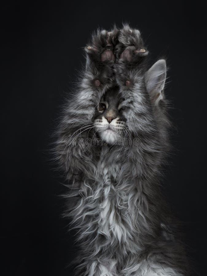 Gatito de plata azul impresionante del gato de Maine Coon, aislado en fondo negro fotografía de archivo