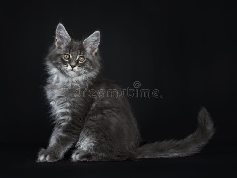 Gatito de plata azul impresionante del gato de Maine Coon, aislado en fondo negro fotografía de archivo libre de regalías