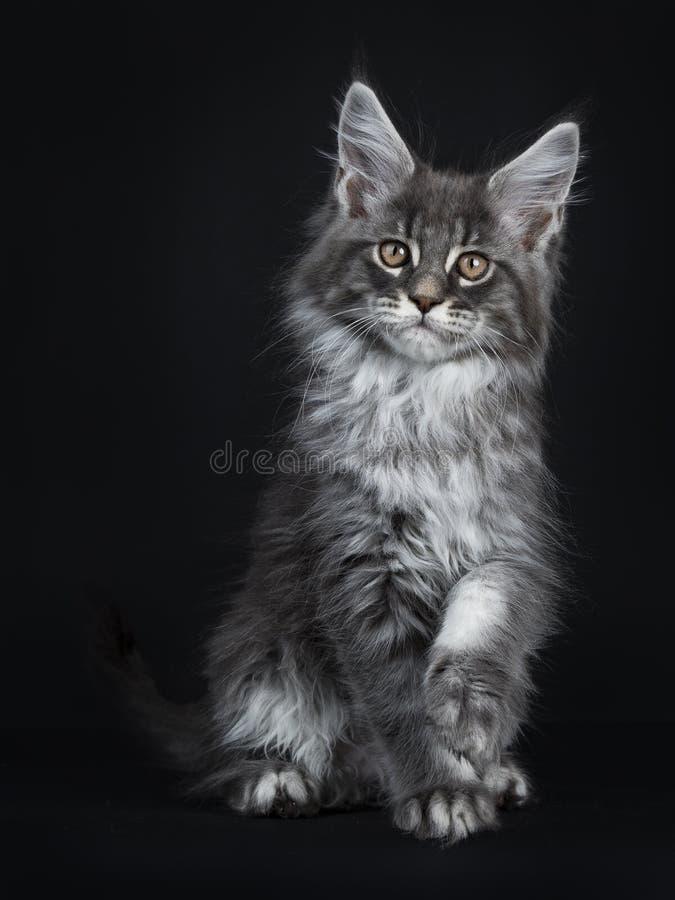 Gatito de plata azul impresionante del gato de Maine Coon, aislado en fondo negro foto de archivo