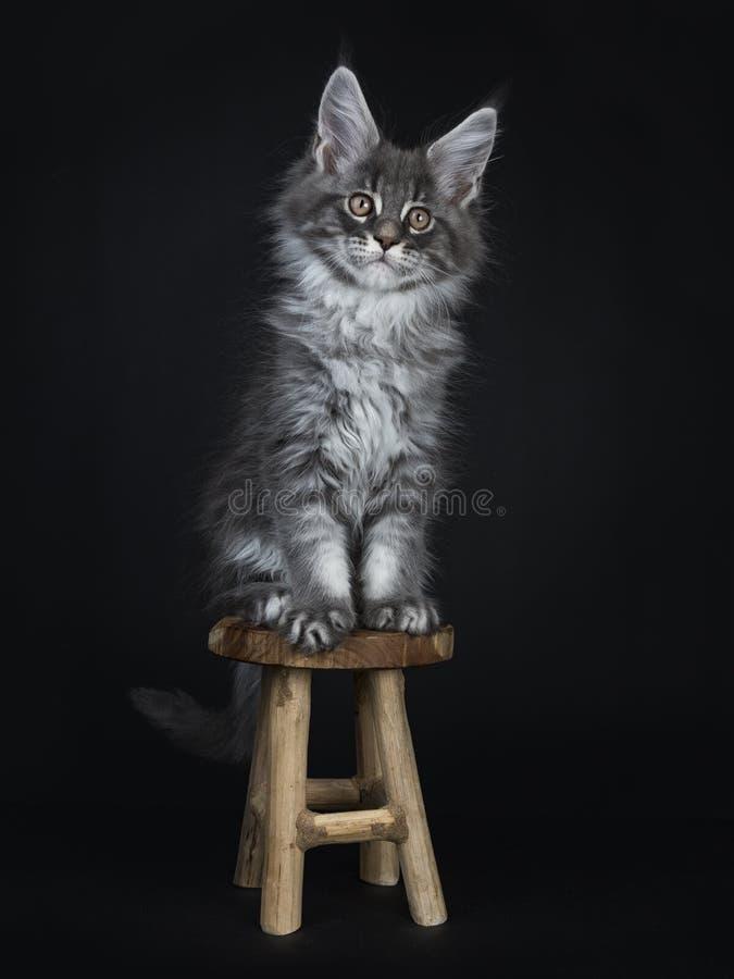 Gatito de plata azul impresionante del gato de Maine Coon, aislado en fondo negro foto de archivo libre de regalías
