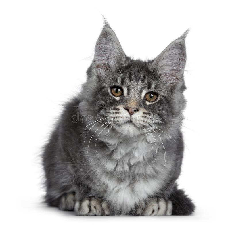 Gatito de plata azul sonriente del gato de Maine Coon en el fondo blanco fotos de archivo libres de regalías