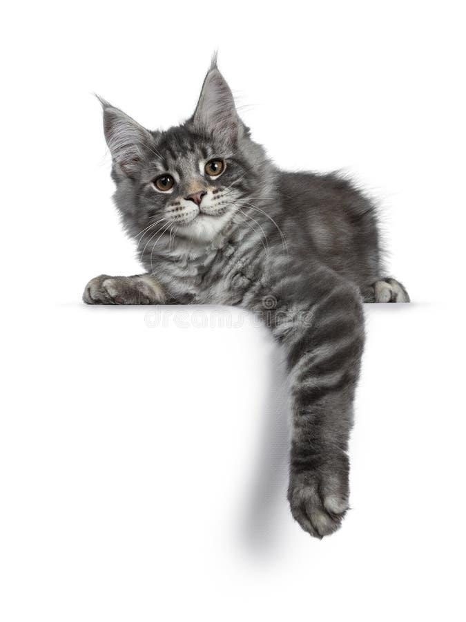 Gatito de plata azul sonriente del gato de Maine Coon en el fondo blanco imágenes de archivo libres de regalías