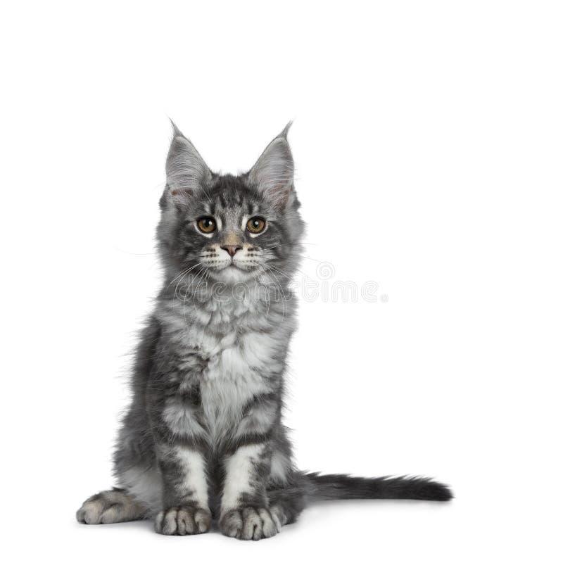 Gatito de plata azul sonriente del gato de Maine Coon en el fondo blanco imagenes de archivo