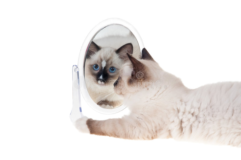 Gatito de Ragdoll con el espejo fotografía de archivo