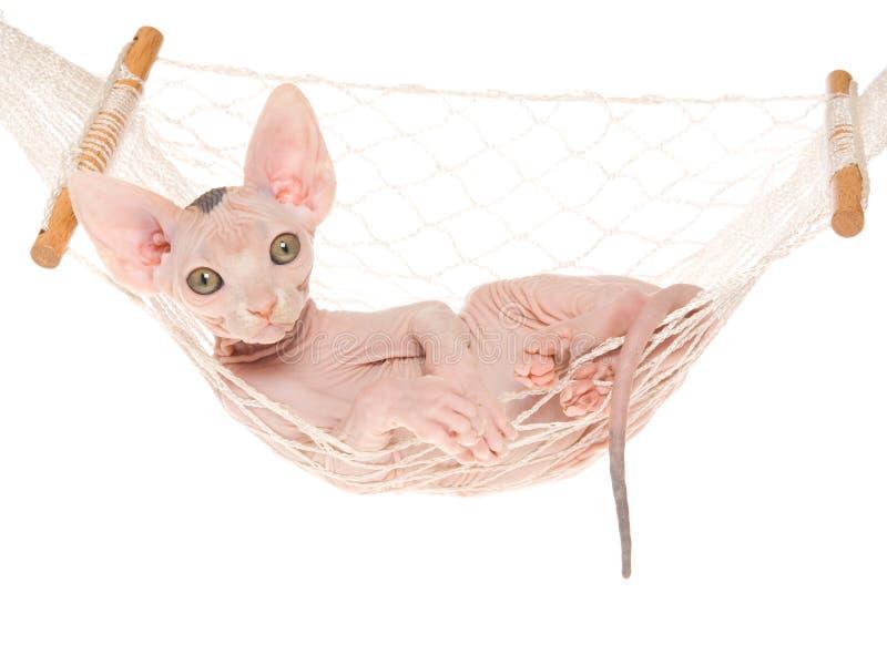 Gatito de Sphynx en mini hamaca fotografía de archivo libre de regalías