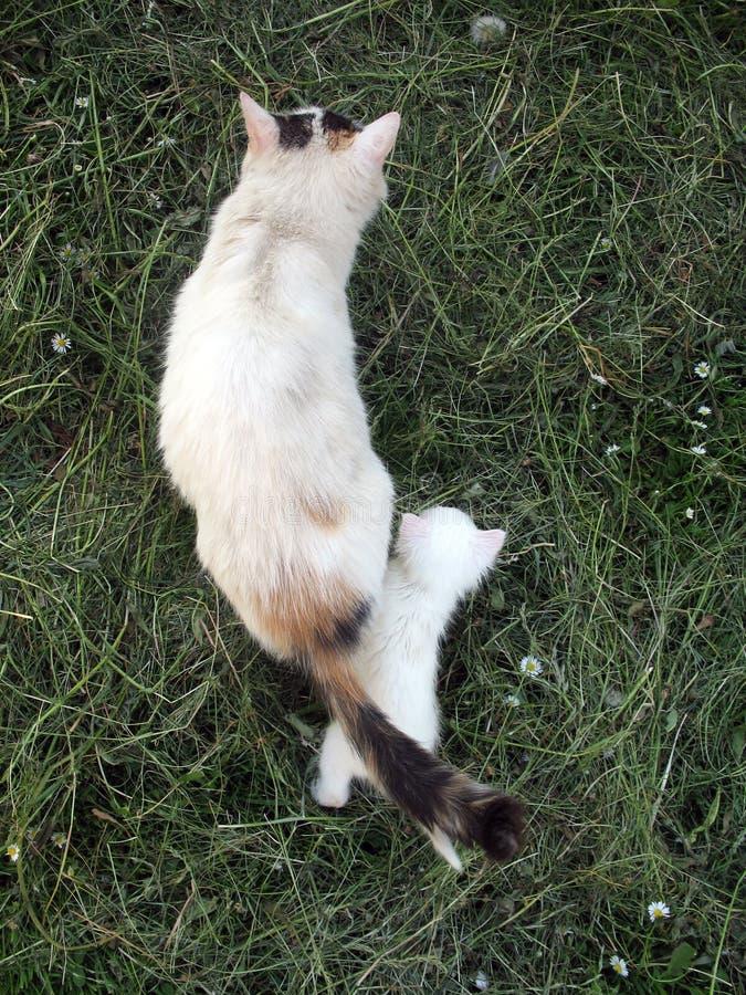 Gatito del albino fotos de archivo