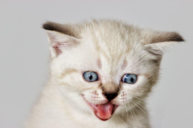 Gatito del bozal que meows imágenes de archivo libres de regalías