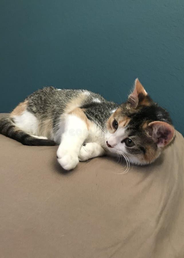 Gatito del calicó foto de archivo libre de regalías