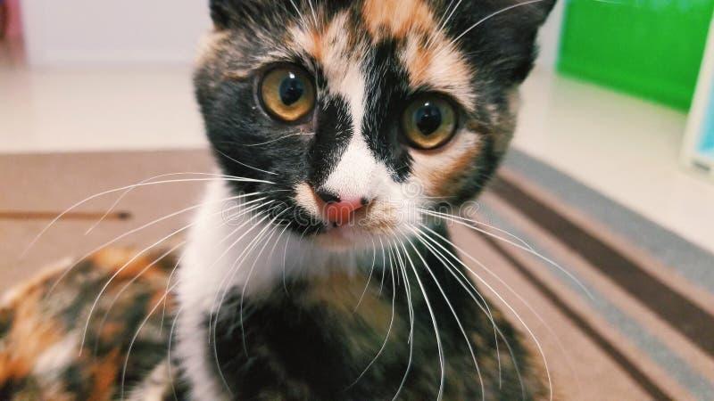 Gatito del calicó fotos de archivo