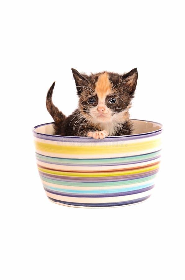 Gatito del calicó en un cuenco fotos de archivo