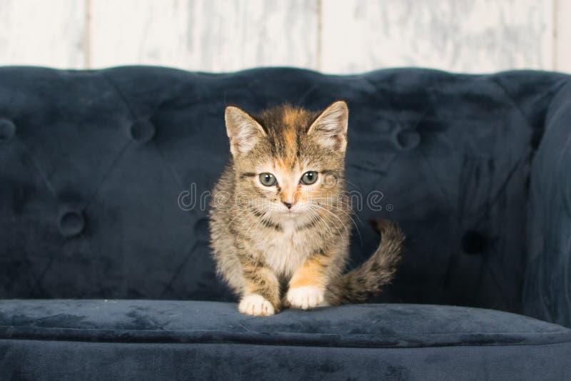 Gatito del calicó del gato atigrado fotografía de archivo libre de regalías