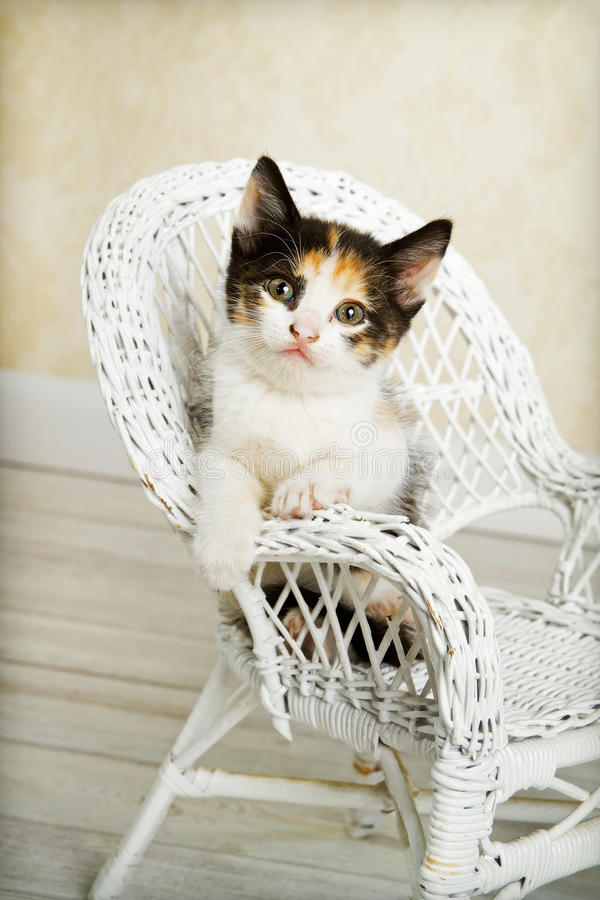 Gatito del calicó que presenta en silla de mimbre imagen de archivo libre de regalías