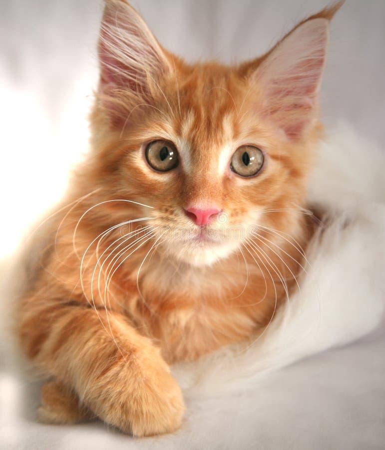 Gatito del Coon de Maine foto de archivo libre de regalías