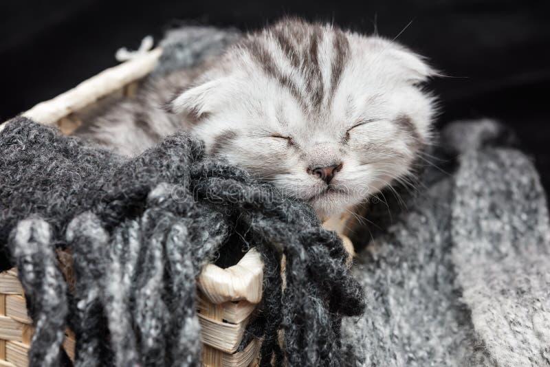 Gatito del doblez del escocés del gato atigrado imagenes de archivo