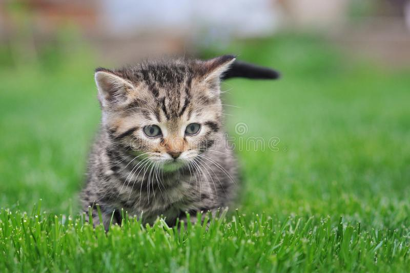 Gatito del gato atigrado en la naturaleza foto de archivo libre de regalías