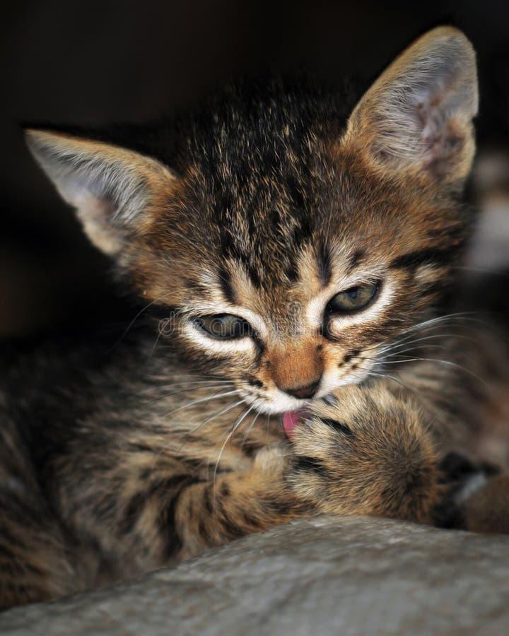 Gatito del gato atigrado que lame las patas imagen de archivo libre de regalías
