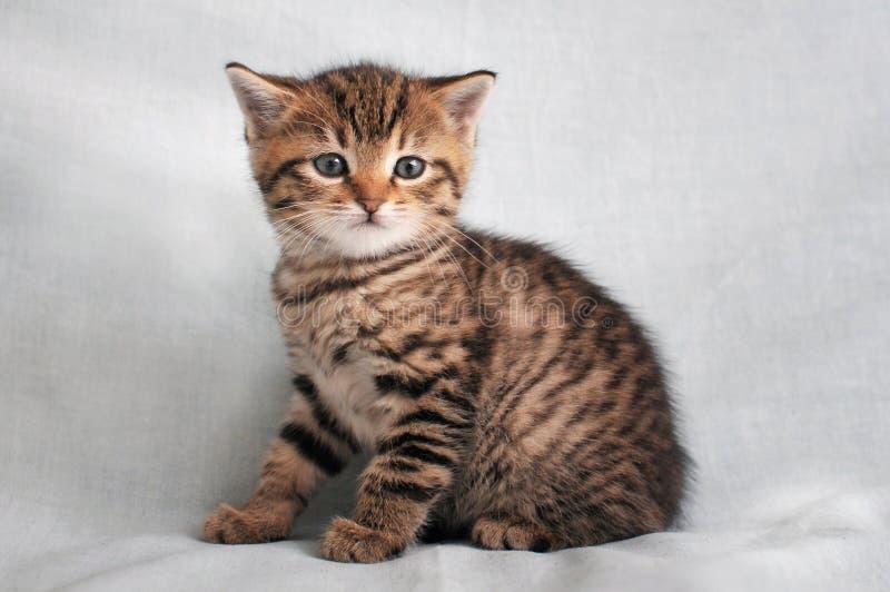 Gatito del gato atigrado que se sienta en el fondo blanco foto de archivo